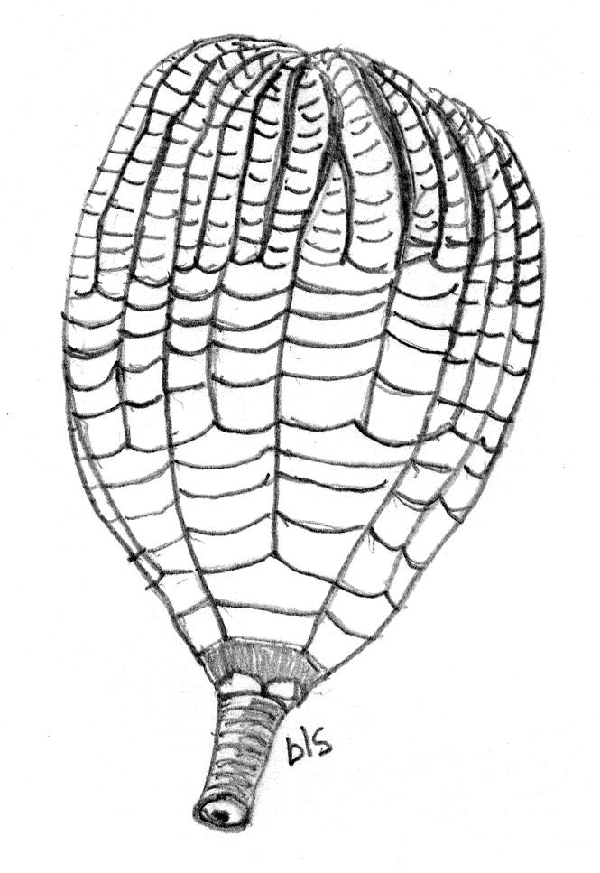 crinoid with a small section of stem